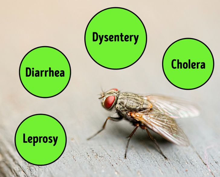 flies can carry over 60 diseases