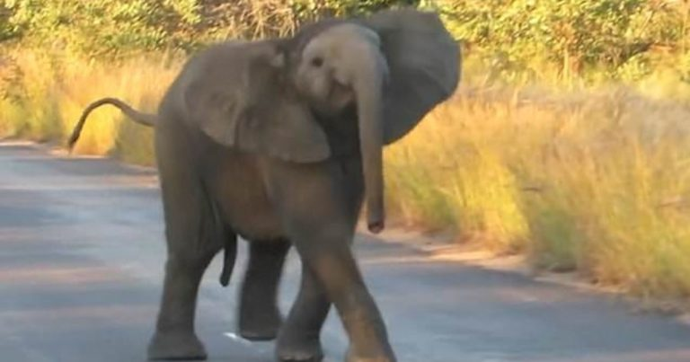 Adorable Baby Elephant 'Dances' In The Road For Safari Tourists In South Africa