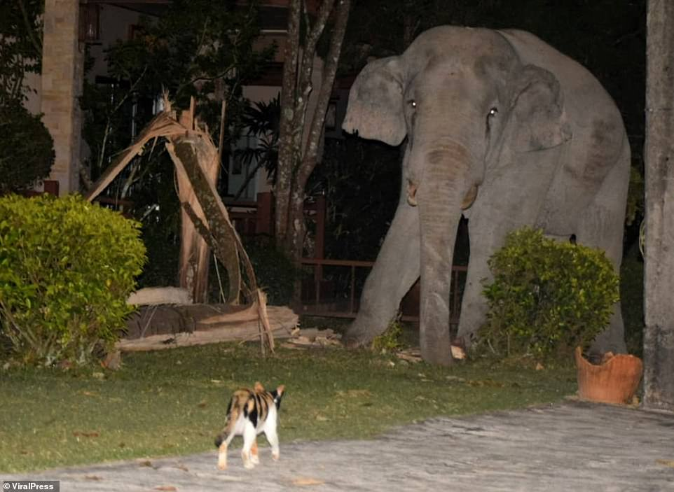 cat chases away elephant