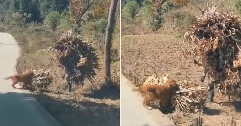 Pet Dog Tries To Help His Owner Do Farm Work By Carrying Cuttings