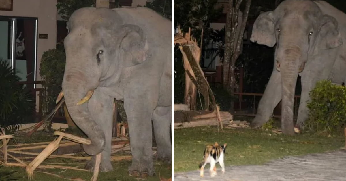 Small Cat Chases Away Elephant That Came To The Garden Looking For Food