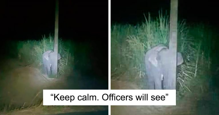 Adorable Baby Elephant Gets Caught Eating Sugarcane, Hides Behind A Light Pole