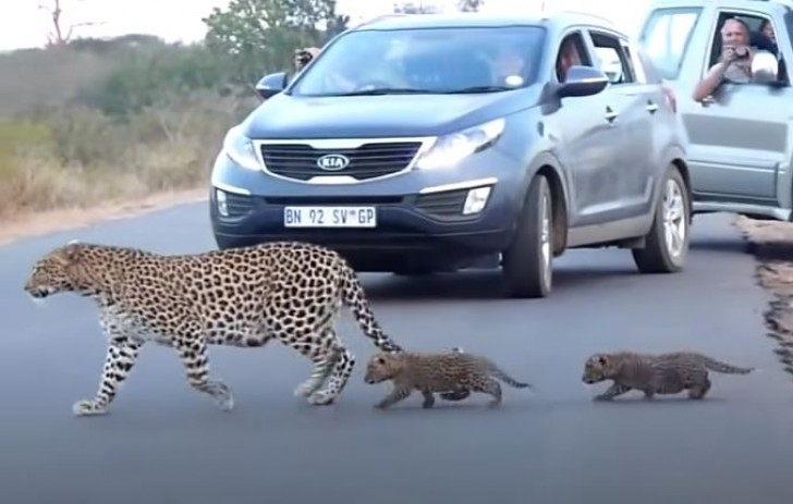 Mother leopard and cubs
