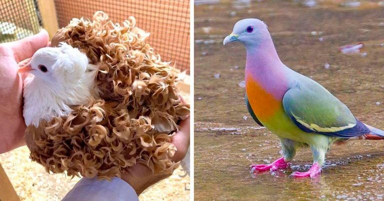These Are The Most Attractive Pigeons In The World