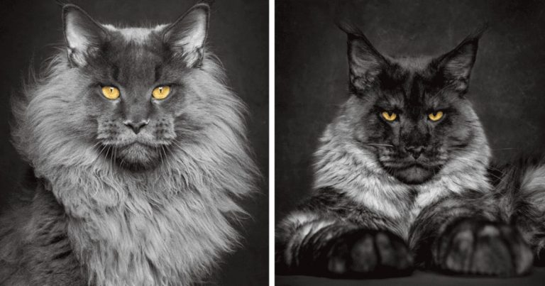 25 Gorgeous Pics Of Maine Coons, World's Largest Domesticated Cats