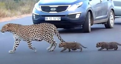 Wonderful Video Shows Mother Leopard Teaching Her Cubs To Cross The Road