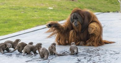 Orangutans Secretly Make Beautiful Friendship With The Otters At The Zoo