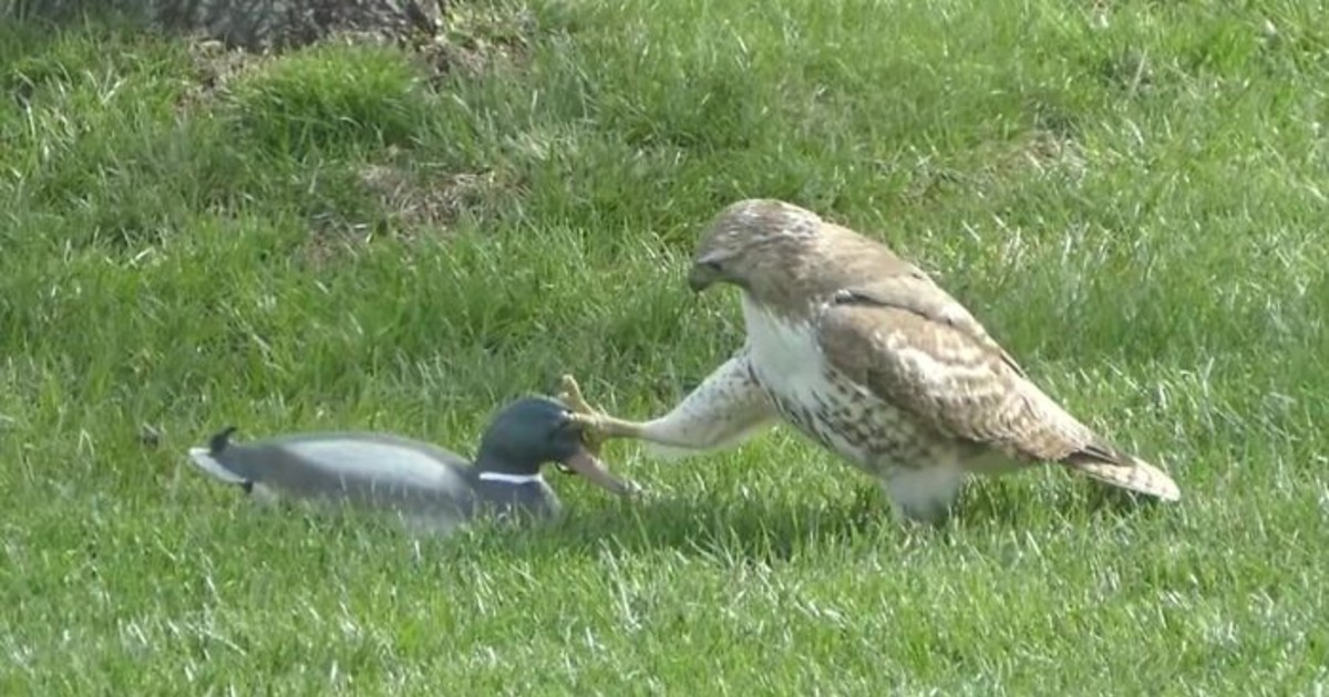 """Hawk Is Very Confused As To Why This """"Duck"""" Doesn't Respond To Its Threats"""