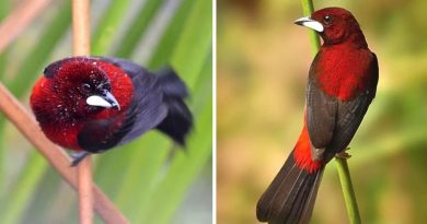 The Crimson-Backed Tanager Is A Stunning Red Bird With A Shiny Beak