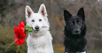 These Photos Of A German Shepherd Wedding Is Flawless