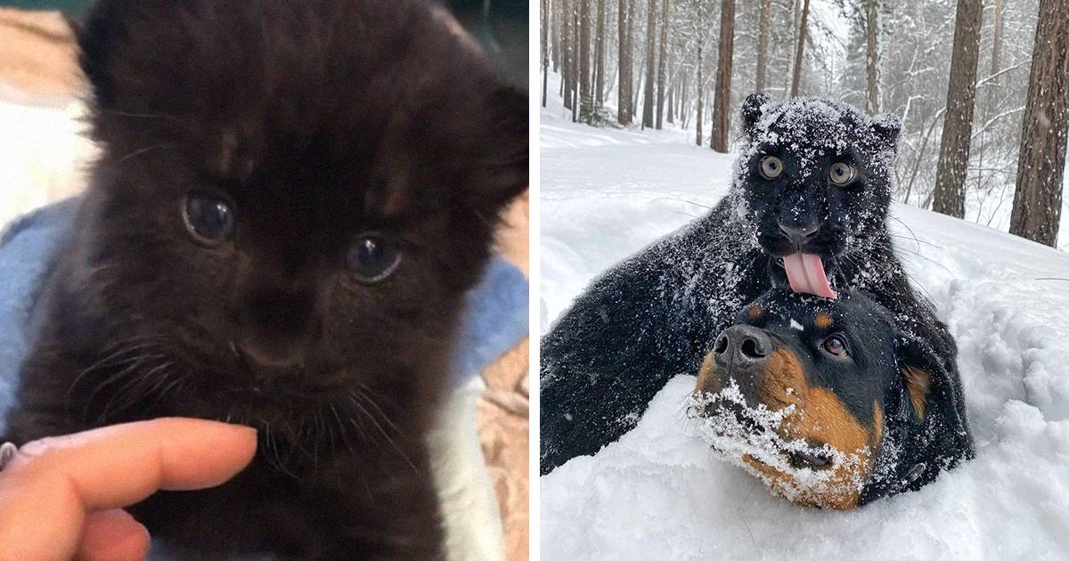 Abandoned Panther Grows Up With A Human And Rottweiler