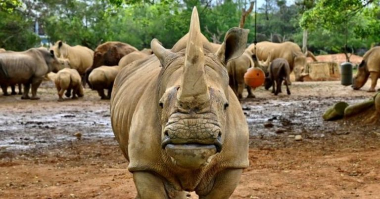 Taiwan Sends White Rhino To Japan To Find Love And A Mate