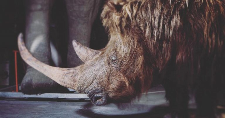 Extremely Well-Preserved Woolly Rhino Found Melting Permafrost In Siberia