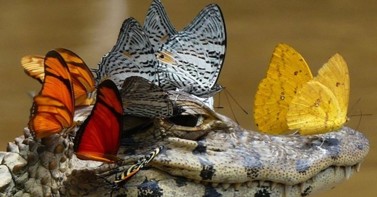 Incredible Photograph Captures a Caiman Wearing a Crown of Butterflies