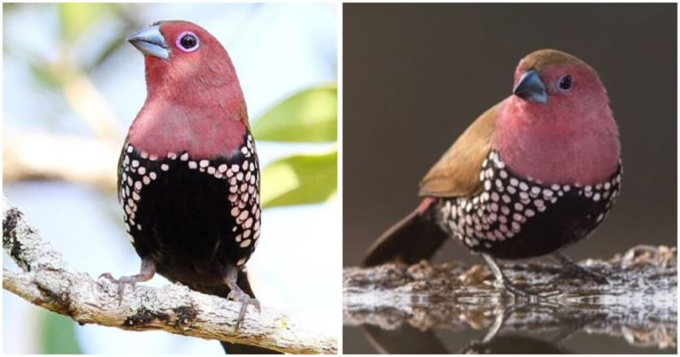 Meet The Pink-Throated Twinspot With Attractive Polka Dots On Its Coat