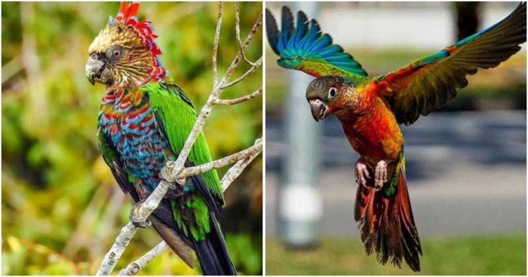 This Stunning Parrot Is Conspicuous In Nature