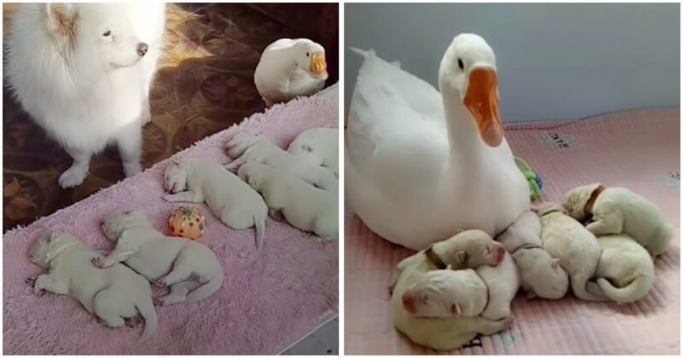 Goose Becomes The Nanny Of Her Dog Bestie's Puppies