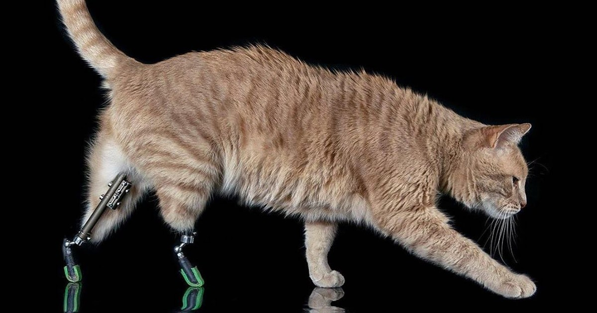 """Brave Cat Is A """"Superstar"""" In Prostheses After Losing Its Legs"""