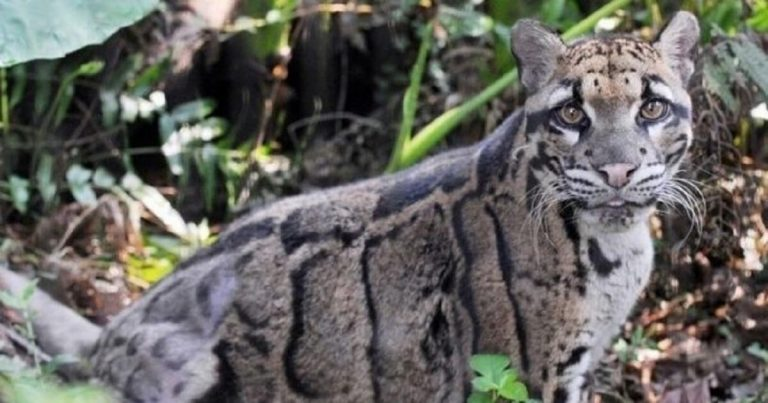 Leopard Believed To Have Extinct In 1983 Spotted Alive In Taiwan