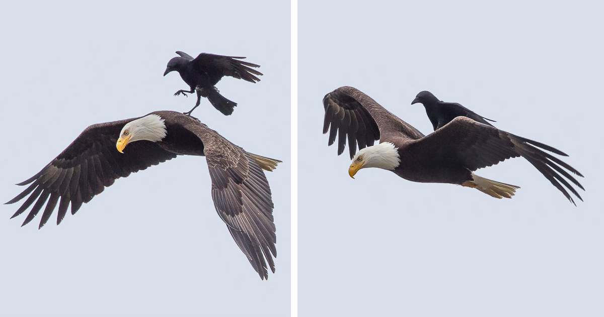 Unbelievable Photos Of A Crow Riding On The Back Of An Eagle, Mid-Air
