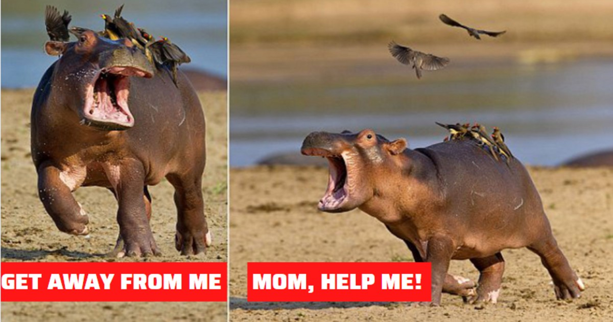 Funny Moment When Hippo Decides He Doesn't Like His Bird Friends