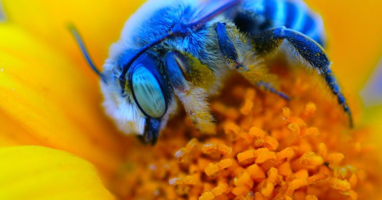 The Blue Bee Are Back From Being Almost Extinct