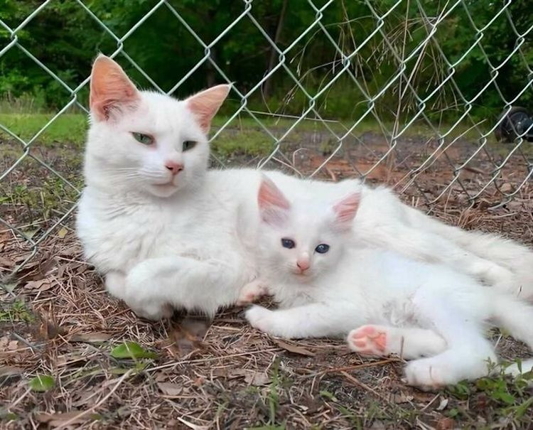 Woman fosters pregnant cat